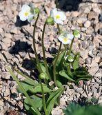 Pinguicula alpina - Alpenfettblatt