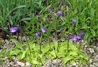 Pinguicula vulgaris - Gewöhnliches Fettblatt im Alpinum, das...