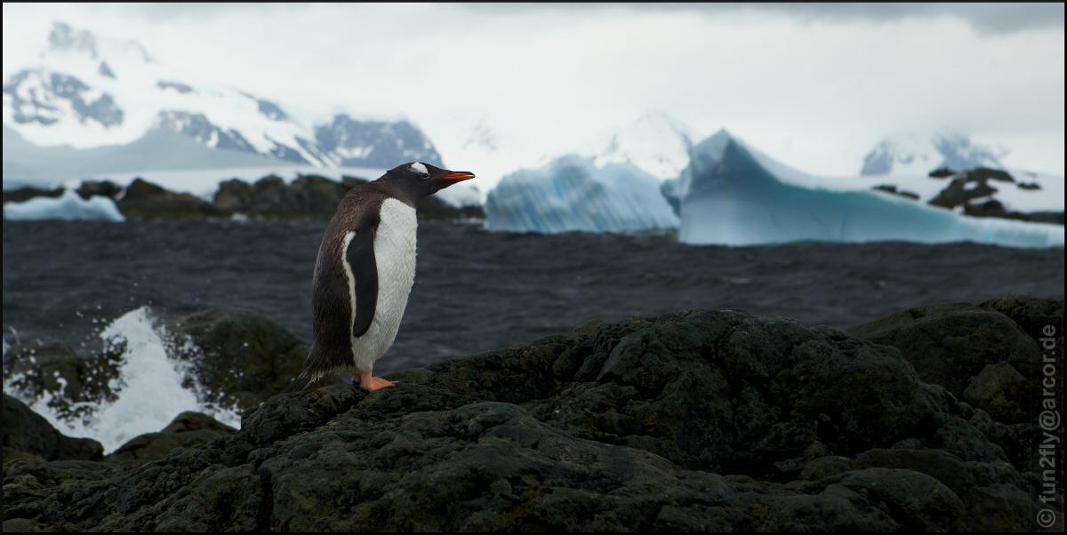 Pinguin at Wilhelmina Bay
