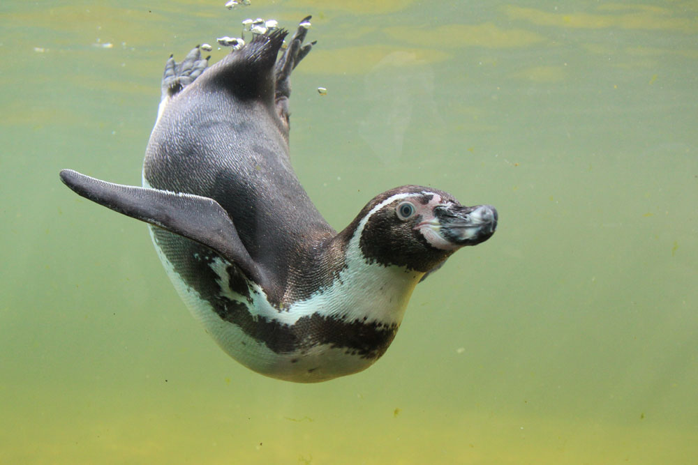 Pinguin auf Tauchgang