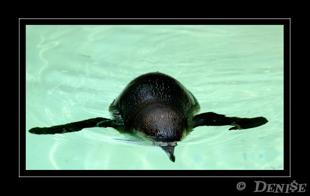 Pinguin Auf Tauchstation