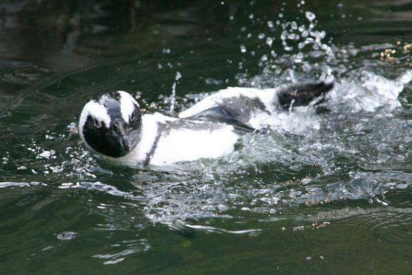 Pinguin aus dem Burgersbusch