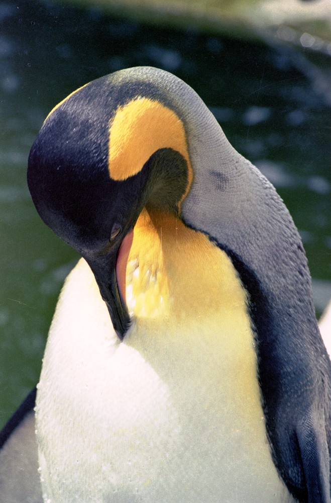 Pinguin bei der Körperpflege