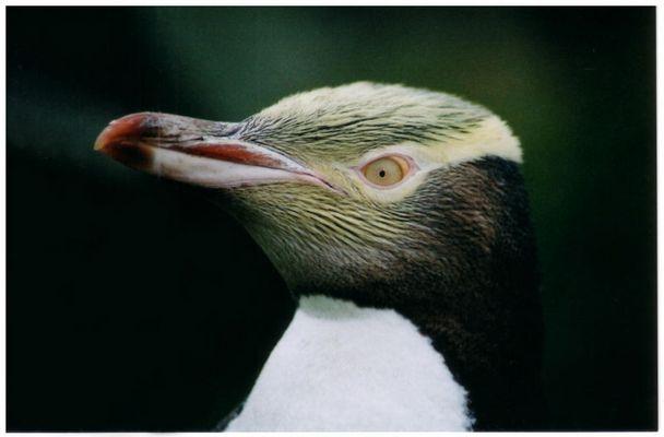 Pinguin bei Oumaru