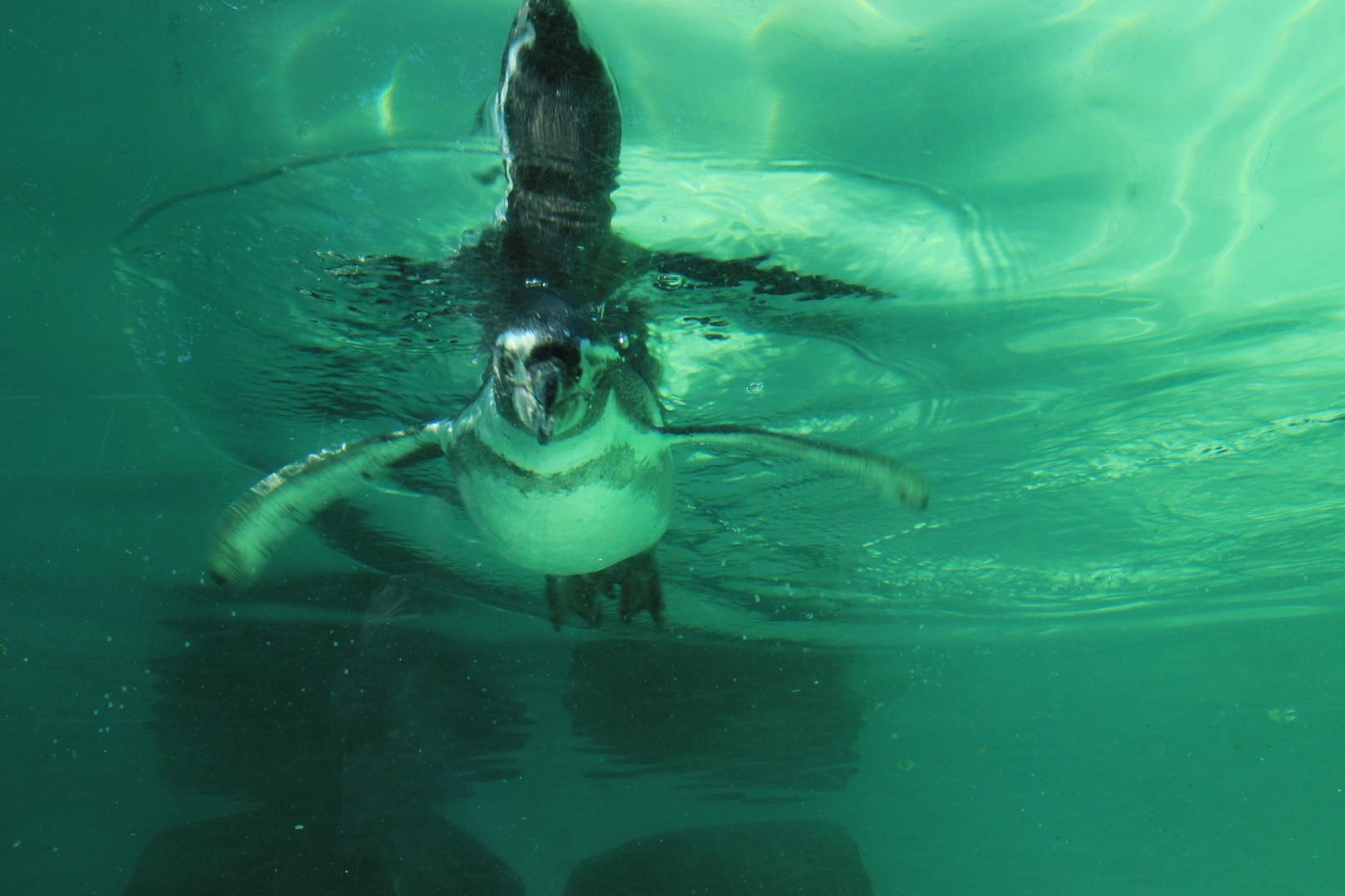 Pinguin beim tauchen