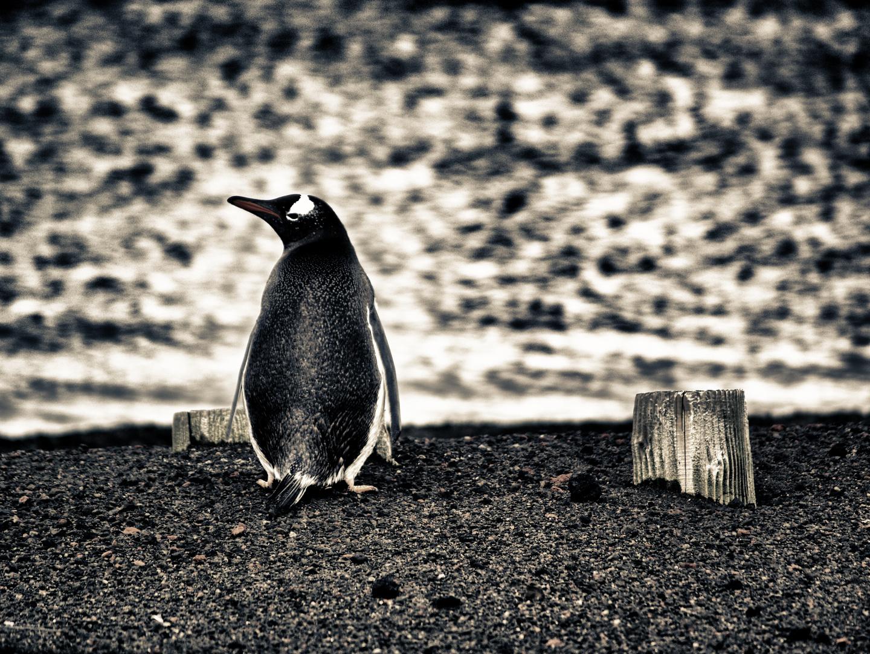 pinguin ...