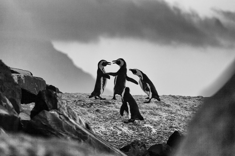 Pinguin Fight mit Referee - Boulders Beach, ZA