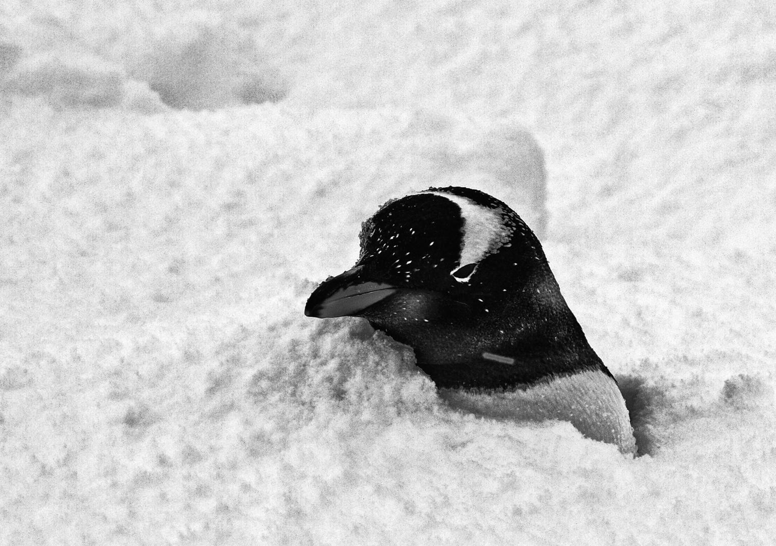 pinguin im schnee ...