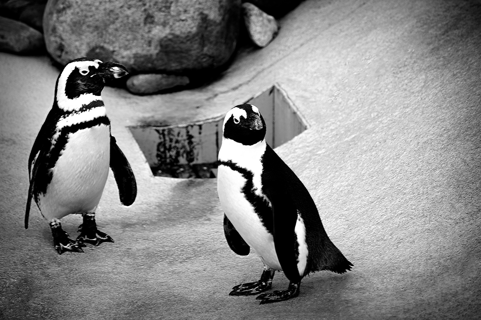 Pinguin im Zoo Hannover