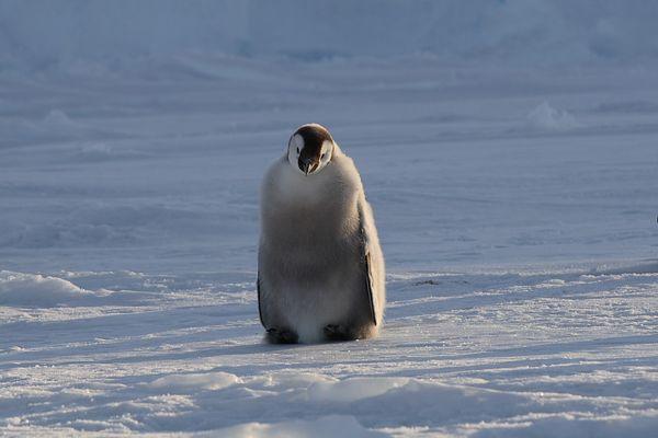 Pinguin in der Antarktis