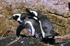 Pinguin Liebe