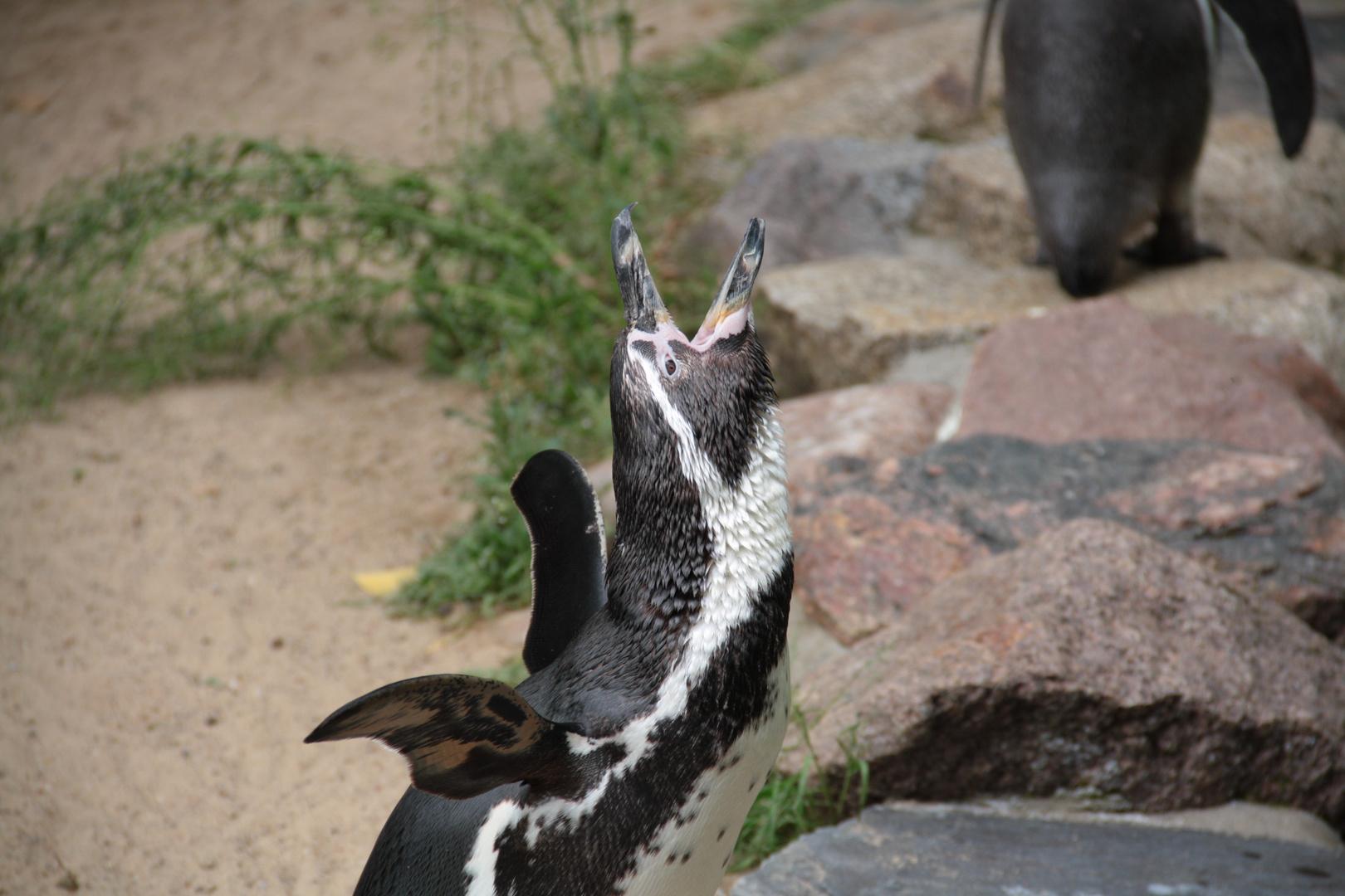 Pinguin macht Laute