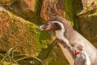 Pinguin mit Armspange