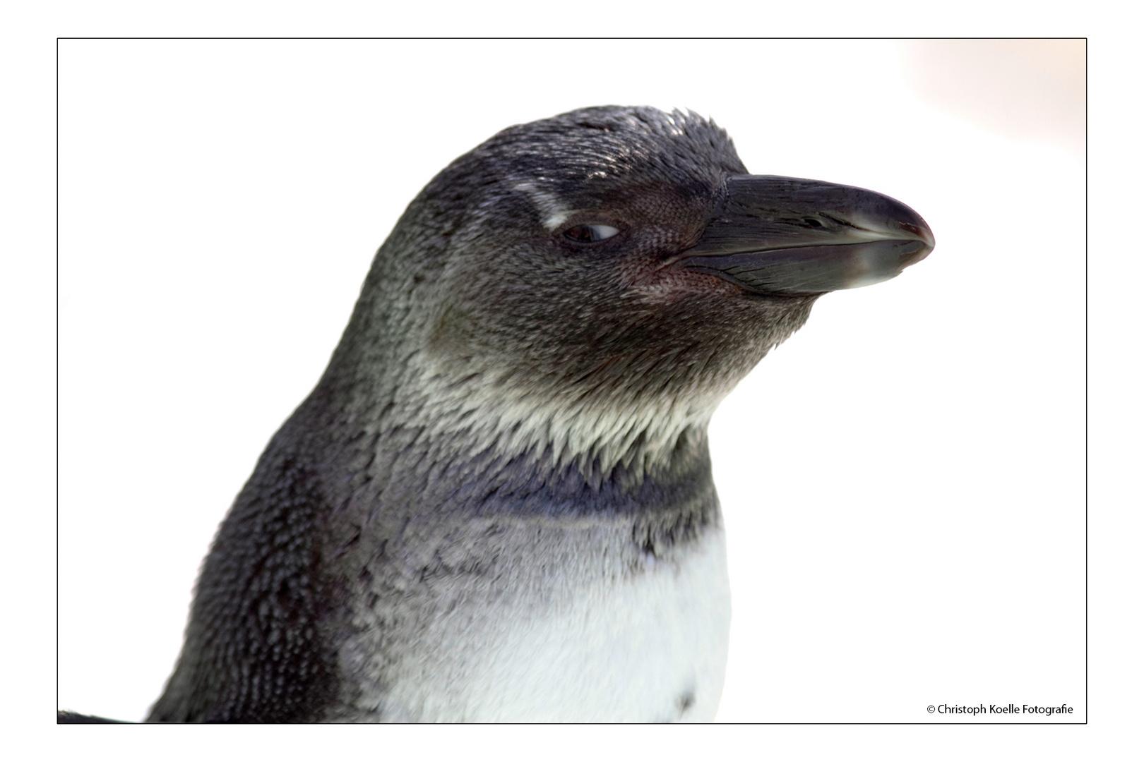 Pinguin-Schelm