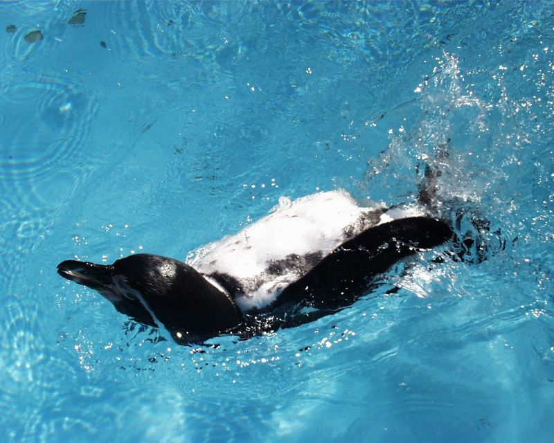 Pinguin sprattelnd