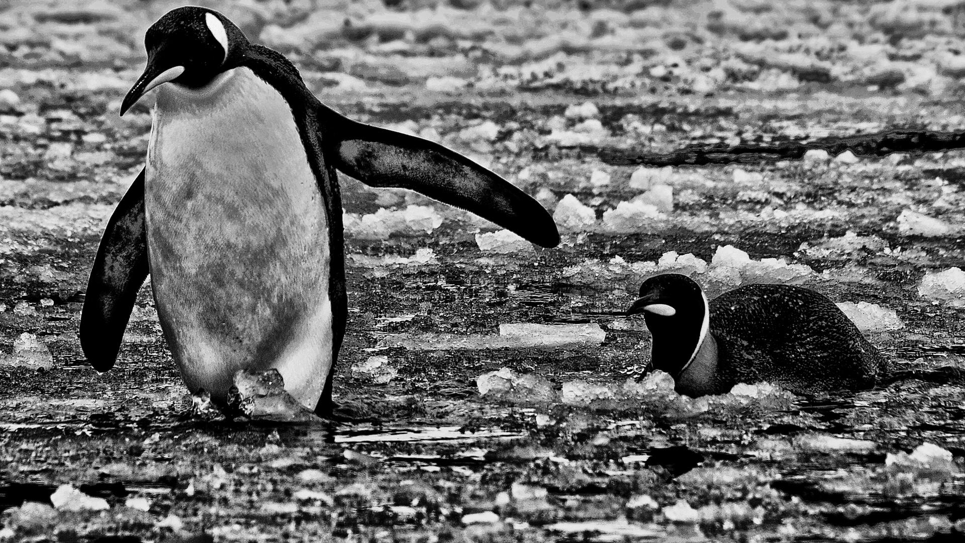 pinguine ..