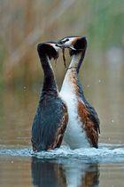 Pinguine am Tanzen