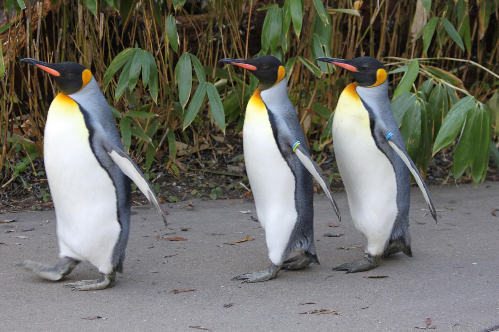 Pinguine im Gleichschritt