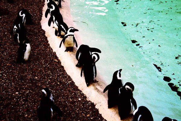 Pinguine im Londoner Zoo