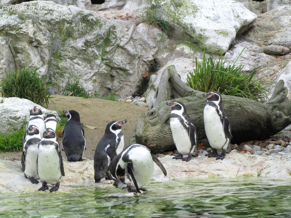 PINGUINE im Tierpark SCHÖNBRUNN / in Wien