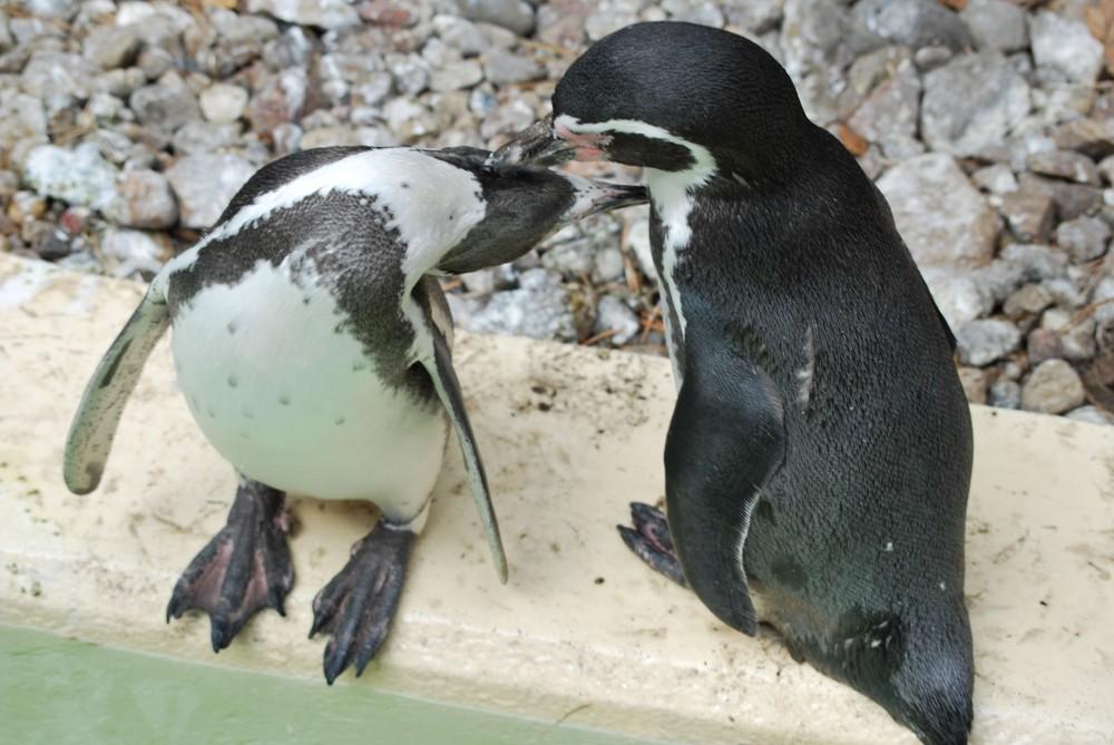 Pinguine in Love