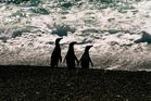Pinguine_Valdez_Halbinsel