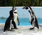 """Pinguinhochzeit : """"Sie können die Braut jetzt küssen"""""""