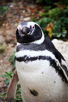 Pinguino Patagónico