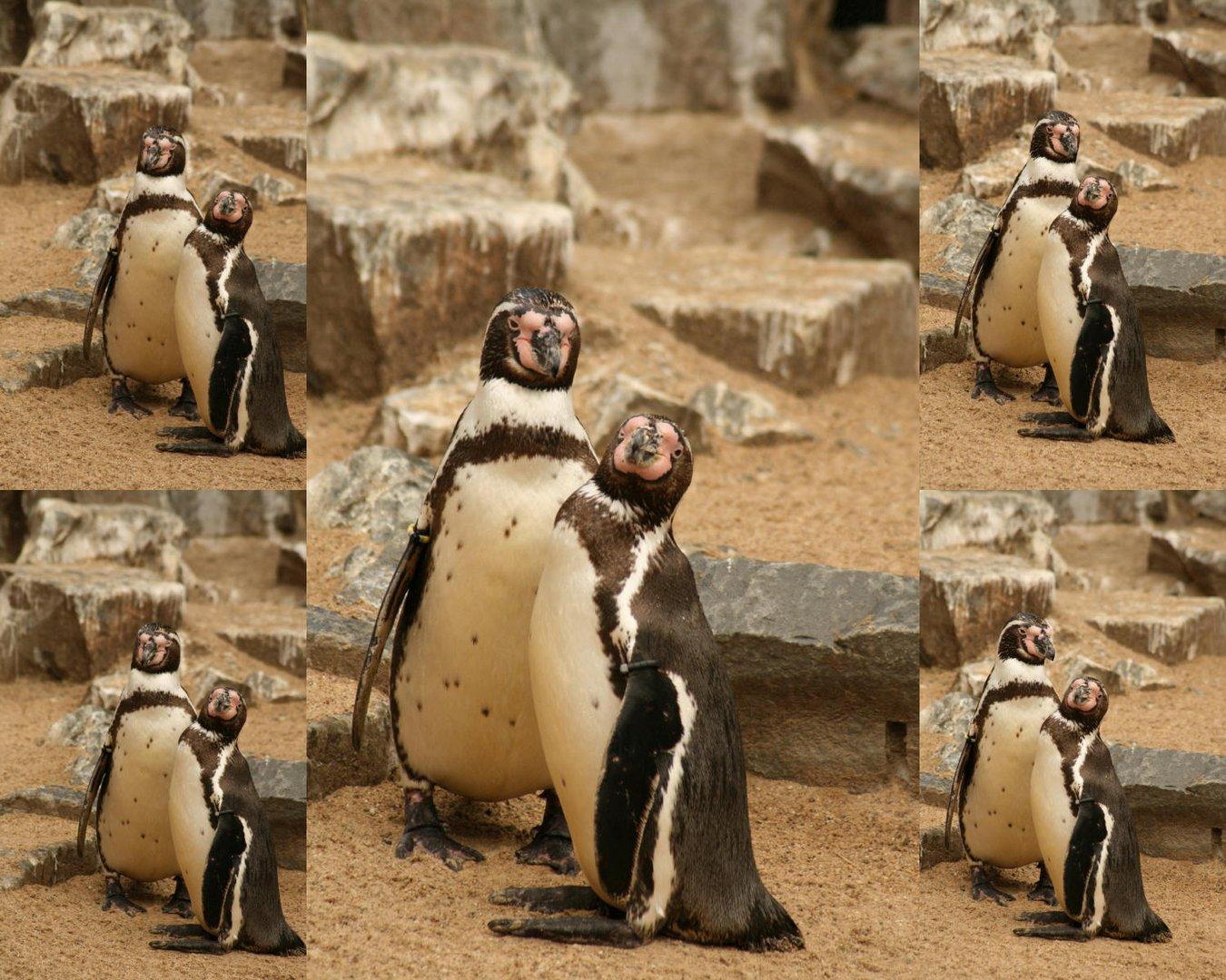 Pinguinpärchen im Kölner Zoo