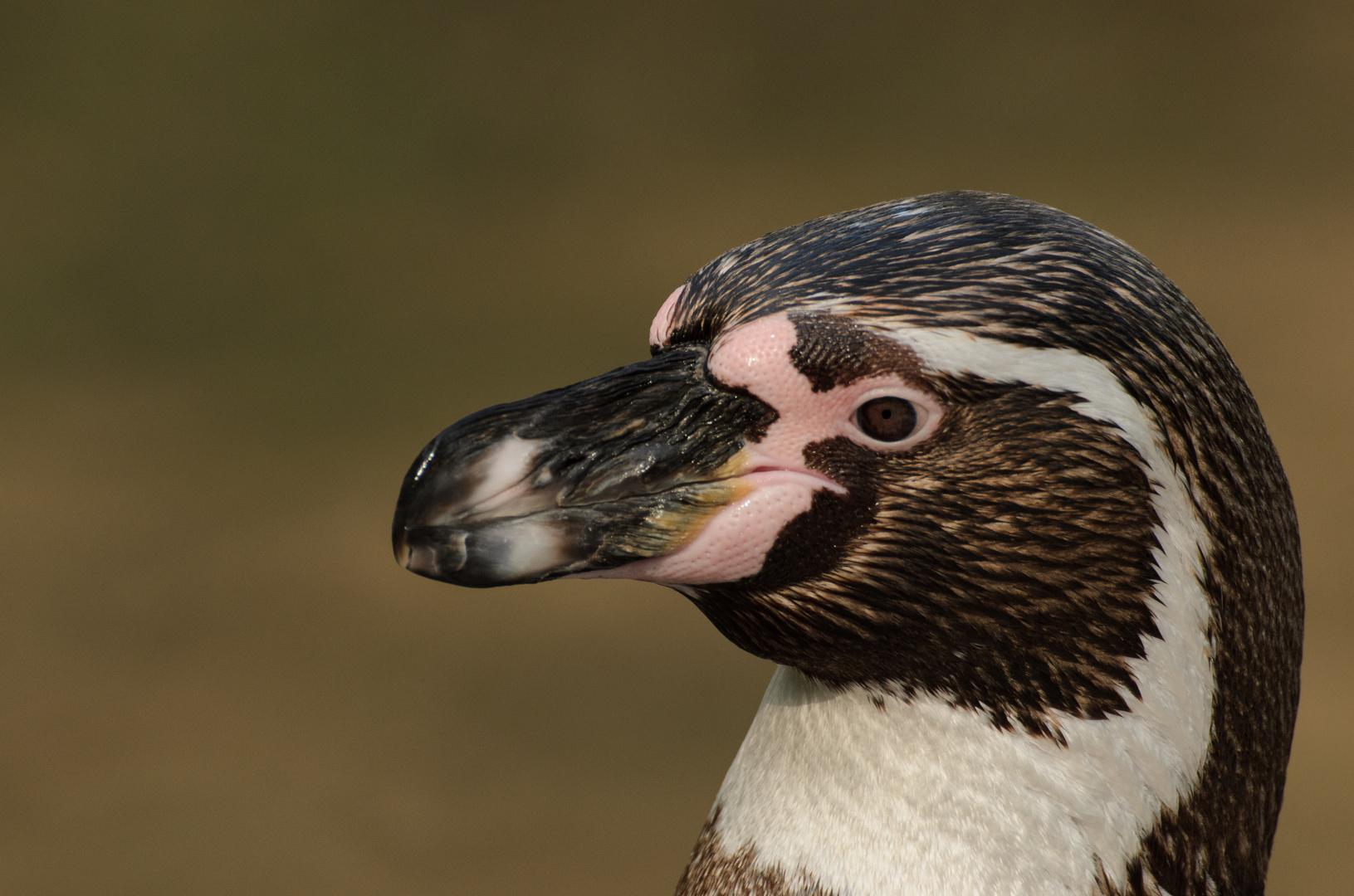 Pinguinportrait