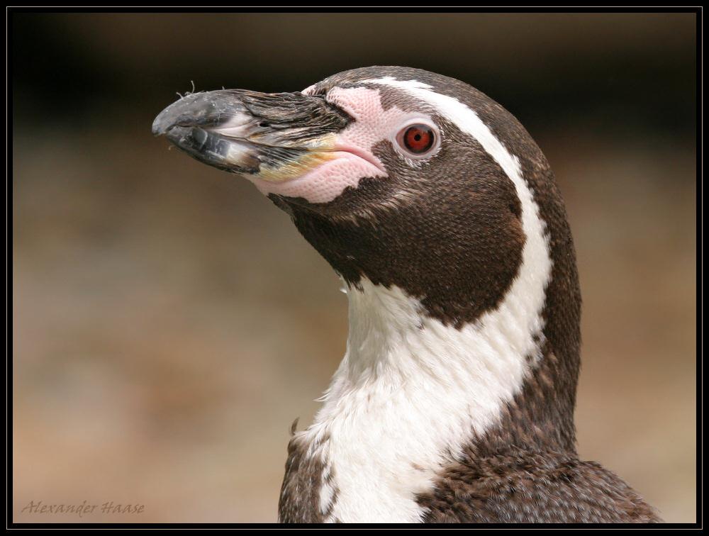 ~ Pinguinportrait ~