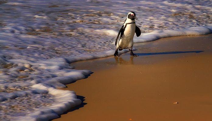 Pinguinspaziergang am Boulders Beach/Südafrika