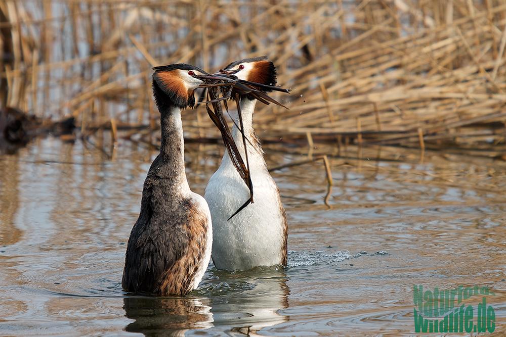 Pinguintanz der Haubentaucher
