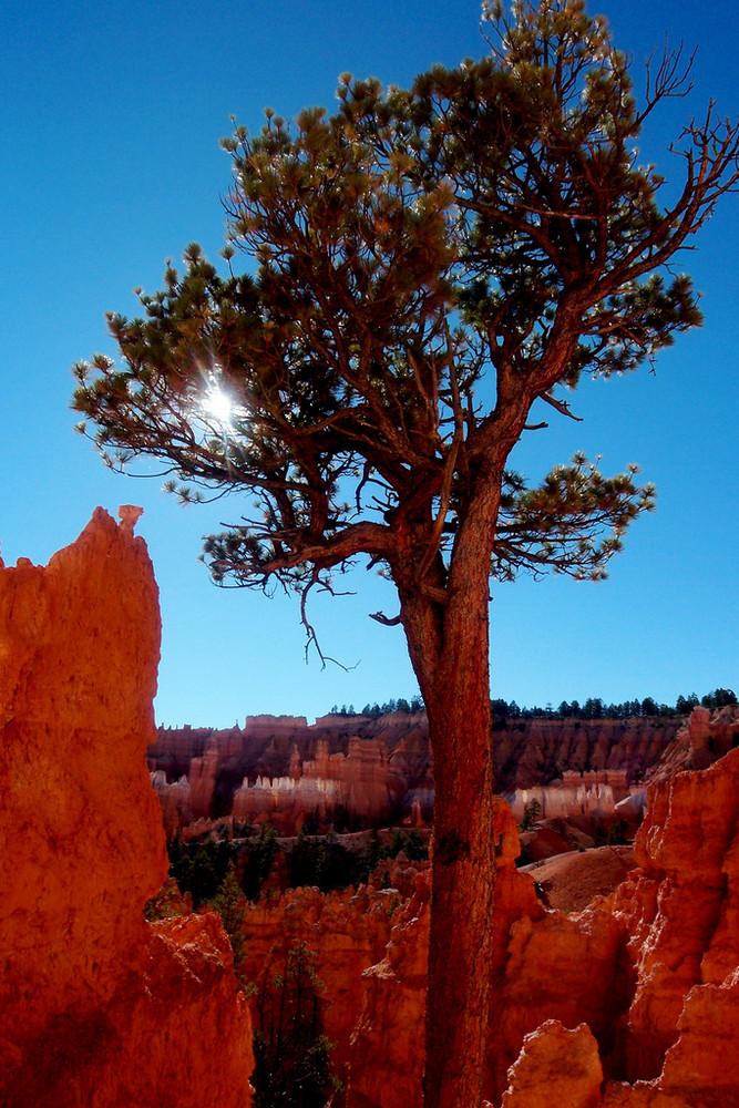 Pinie im Bryce Canyon