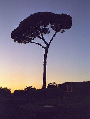 Pinie im Palatin von Rom