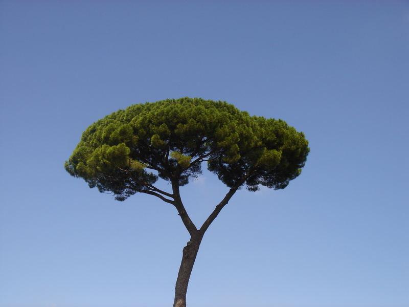 pinienbaum in rom foto bild pflanzen pilze flechten b ume einzelb ume bilder auf. Black Bedroom Furniture Sets. Home Design Ideas
