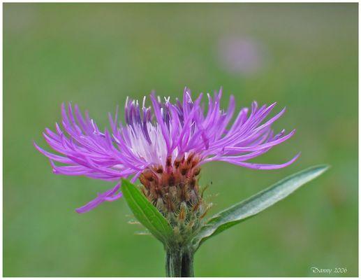 Pink! - Flockenblume (Centaurea spec.)