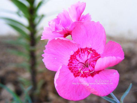 Pink flower N°1.