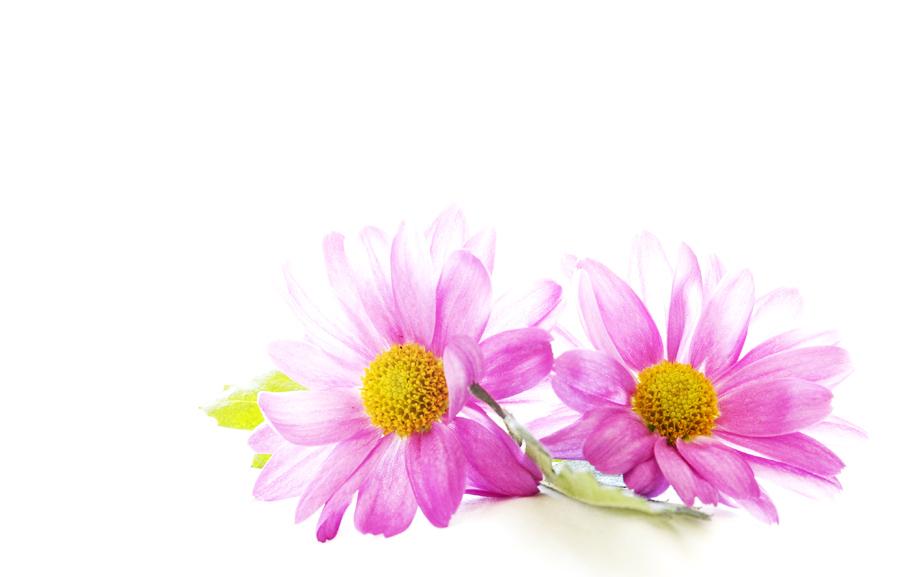 _pink little ladys_