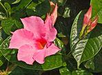 Pink Mandevilla