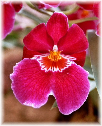 Pink Orchidee
