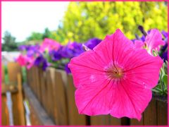 Pink Petunie