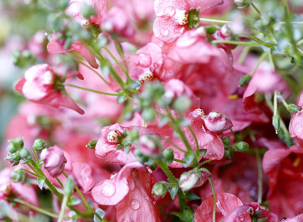 pink, pink, pink sind alle meine Blüten...