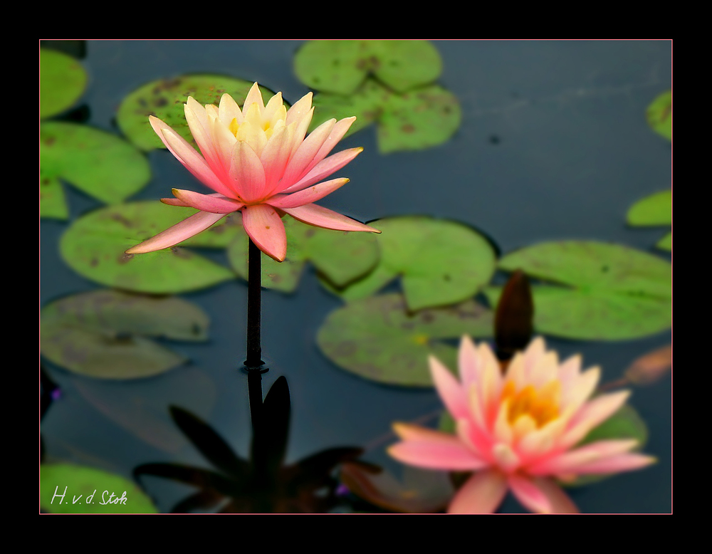 Pink Seerose