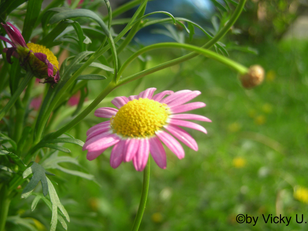pink und weiß