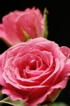 Pinke Rose