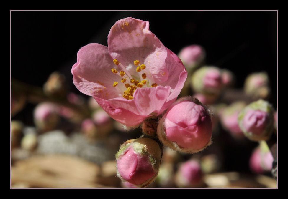 Pinker Frühling