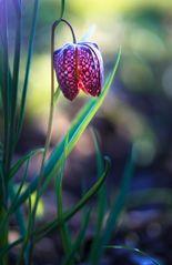 pinker Lampion