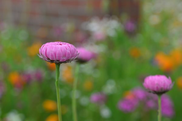 Pinkes Gänseblümchen 2