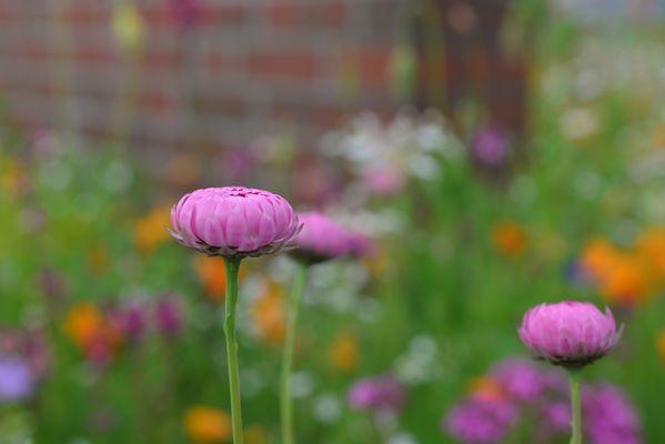 Pinkes Gänseblümchen